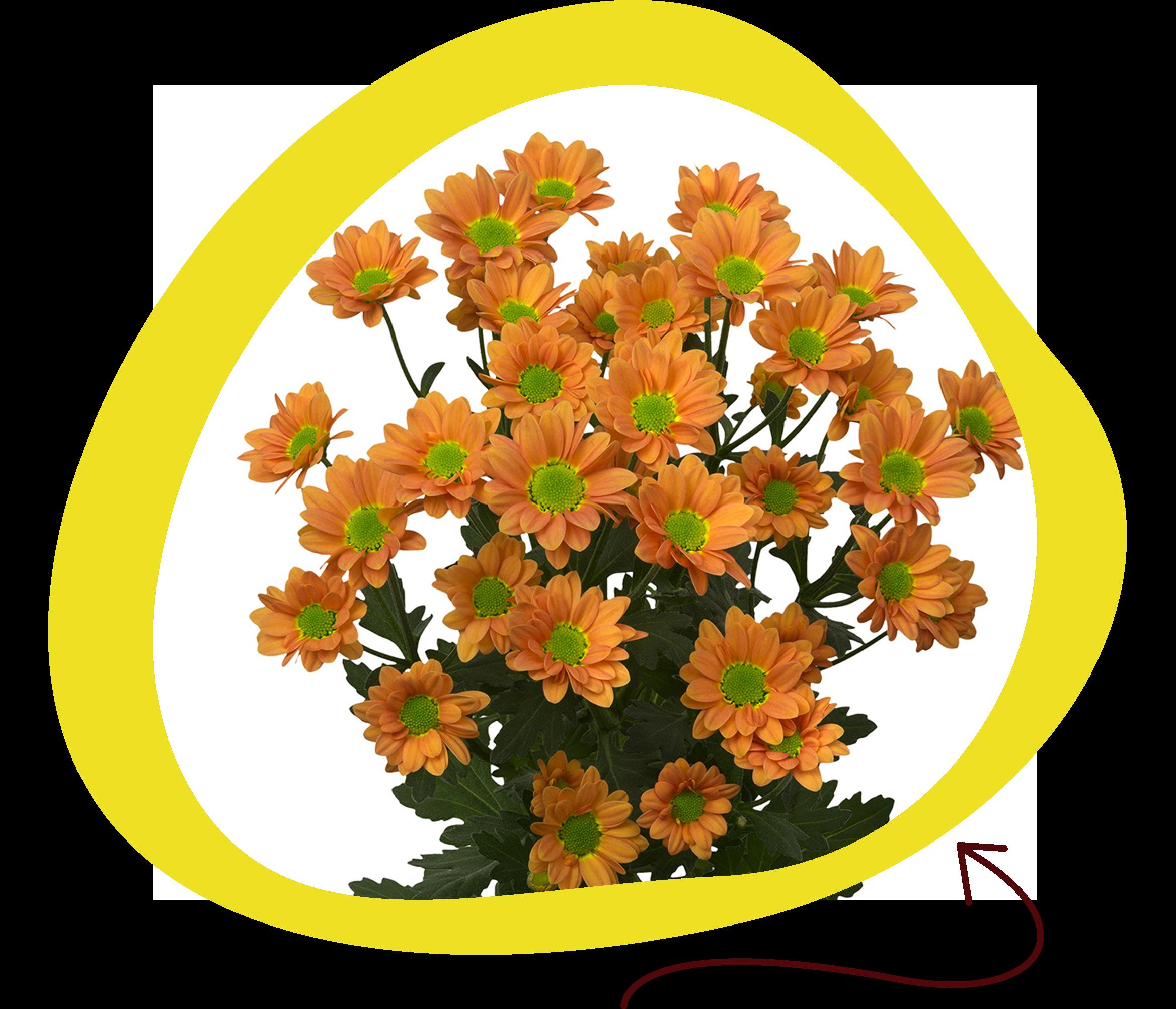 Madiba Daisy Orange