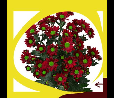 Madiba Daisy Red