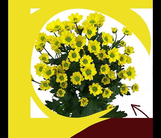 Madiba Daisy Yellow